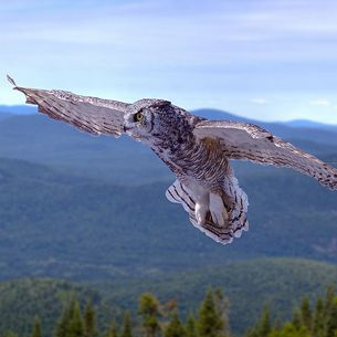 Grand-duc d'Amérique en vol - Great horned owl in flight