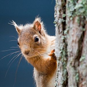 Red squirel - eekhoorn