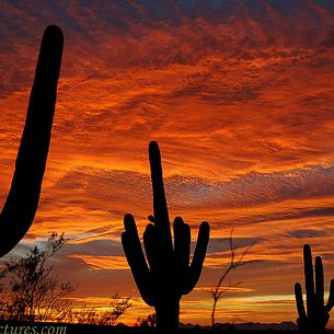 Saguaros on Fire, 1 of 13